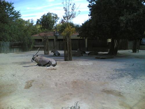 Órixes-austrais - Gemsbok