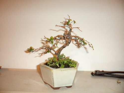bonsai ulmeiro poda estrutura