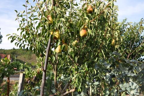 Arvore Fruta do Conde Aben Oada Rvore Que d Fruta