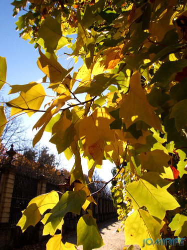Jardim Botânico da Universidade de Coimbra (4) Árvores no Outono [en] Botanical Garden of the University of Coimbra - Trees in autumn