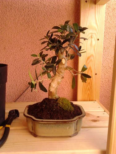 Bonsai oliveira