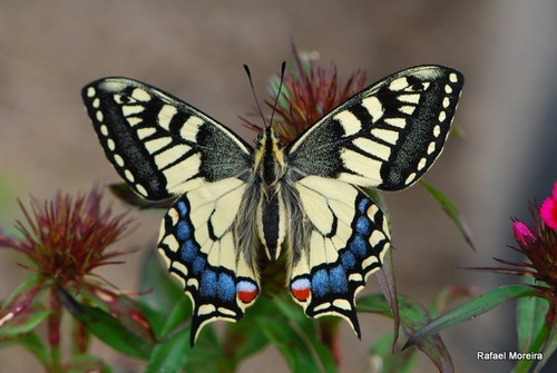 Papilio machaon (verde)