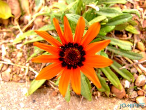 Macro - Flor laranja (1) [en] Macro - Orange flower