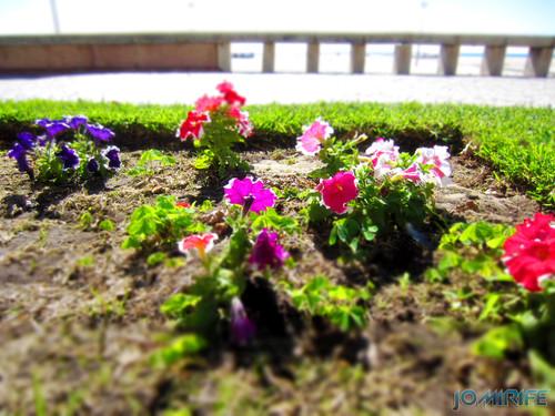 Flores na avenida 25 de Abril na Figueira da Foz junto da praia [en] Flowers on April 25th Ave in Figueira da Foz along the beach