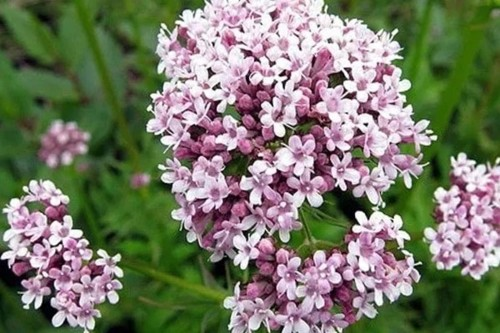 valeriana-beneficios.jpg