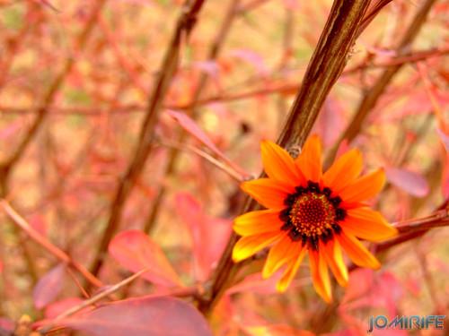 Macro - Flor laranja (2) [en] Macro - Orange flower