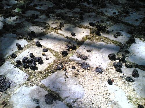 Árvore de amoras: Amoras no chão