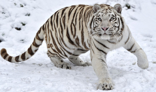 White-Tiger-HD-Background.jpg