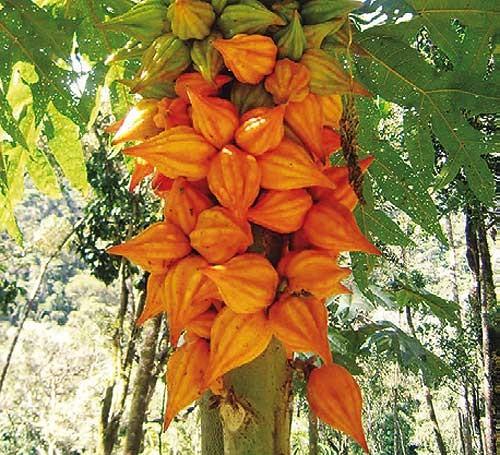 papaya cnidoscolides.jpg
