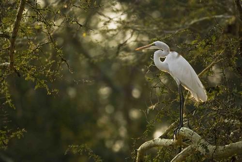 Great White Heron_JdS.jpg