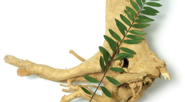 ginseng da malasia eurycoma longifolia.jpg
