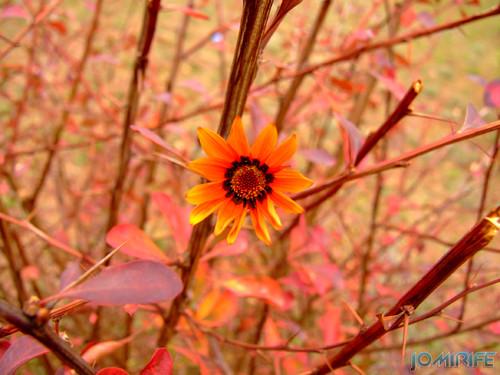 Macro - Flor laranja (3) [en] Macro - Orange flower