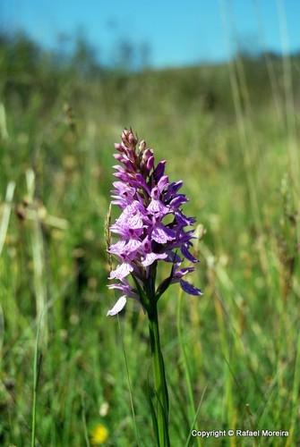 Orquídea da serra