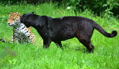 leopardos.jpg