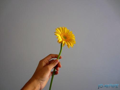 Flor Gerbera amarela, Yellow Gerbera flower (1)