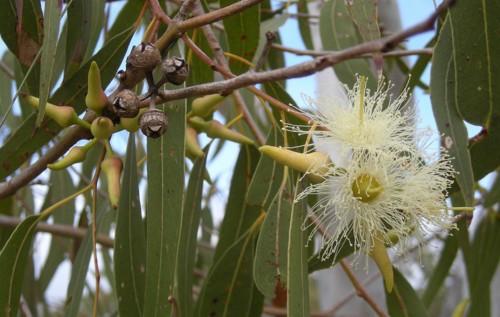 1200px-Eucalyptus_tereticornis_flowers,_capsules,_