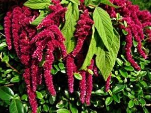 amaranth-caudatus.jpg