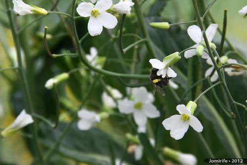 Abelhas a tirar o pólen das flores (8)