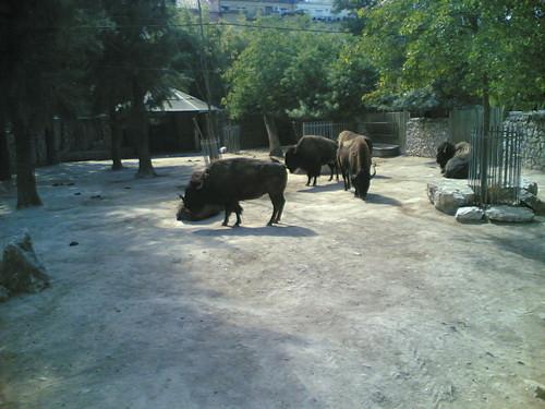 Bisonte - Bison