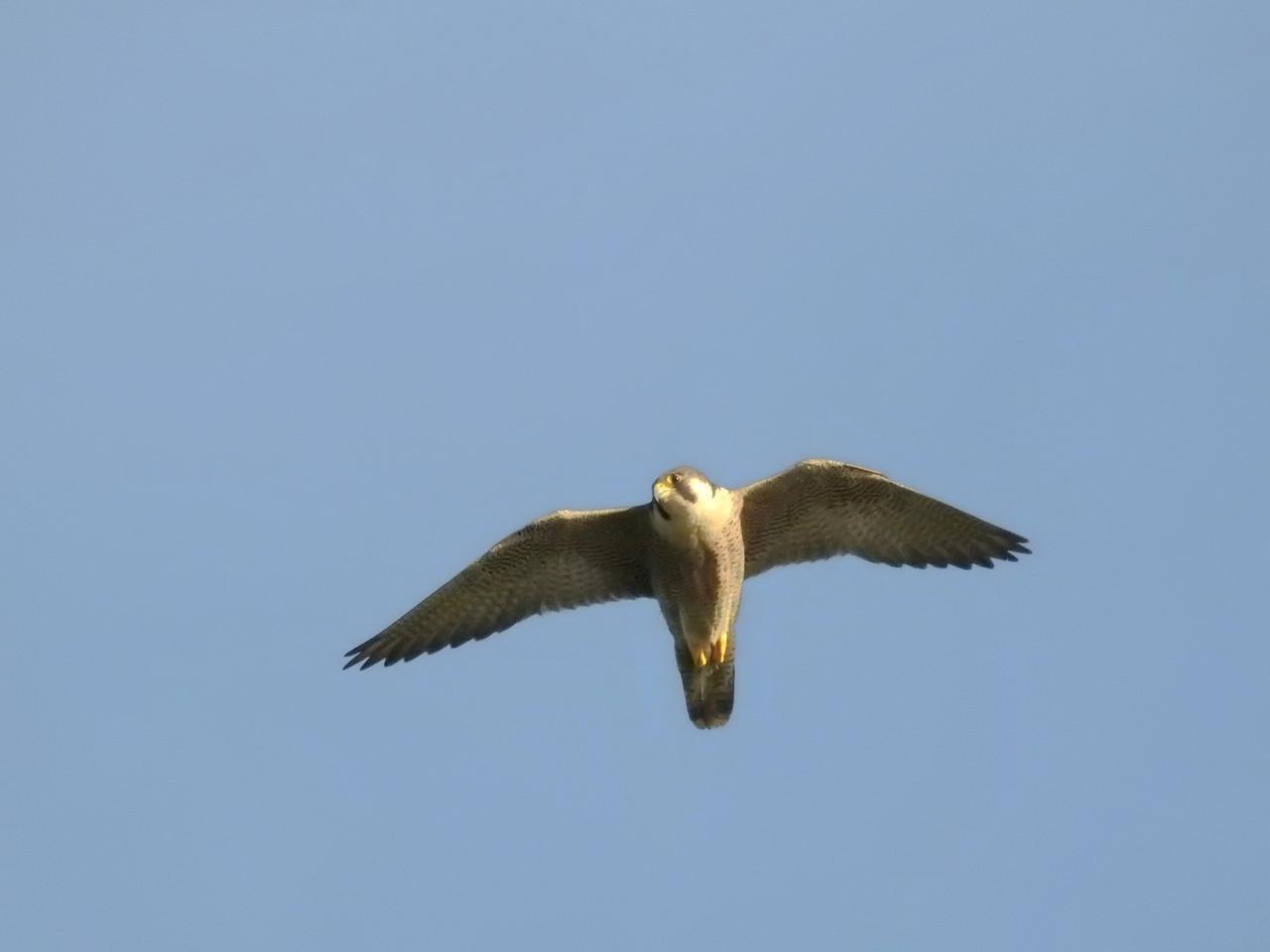 Falcão-peregrino (Falco peregrinus)