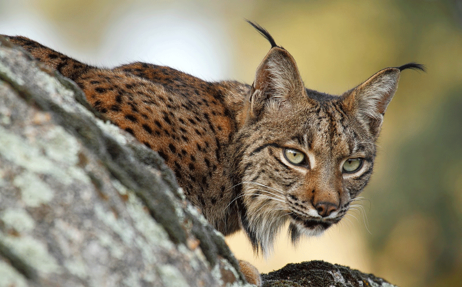 lince-iberico.png