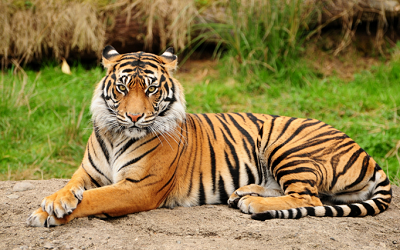 78-Tigre.png