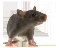 rato (1).png