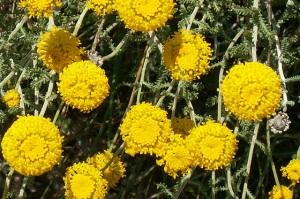 Santolina, Pequeno-limonete, Abrótano-fêmea (Santolina chamaecyparissus)