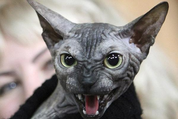 gato arrepiante feio