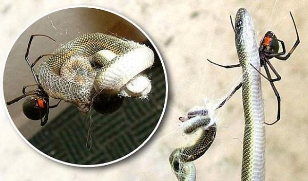 aranha come serpente