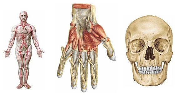 atlas anatomia humans